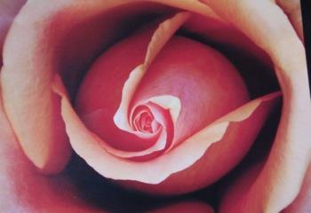 Rosephoto