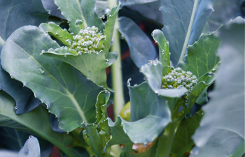 BroccoliSideShoots