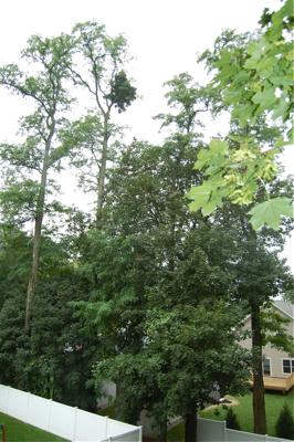 TallLocustTrees