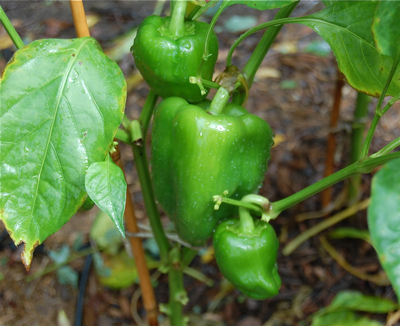 PeppersAfterIrene