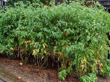 TomatoesAfterIrene