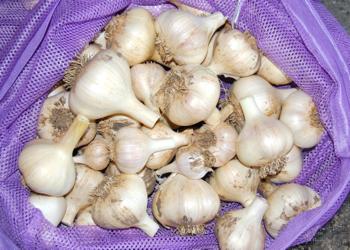 GarlicHarvest