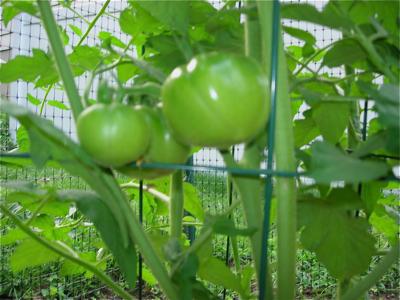 Green_tomatoes